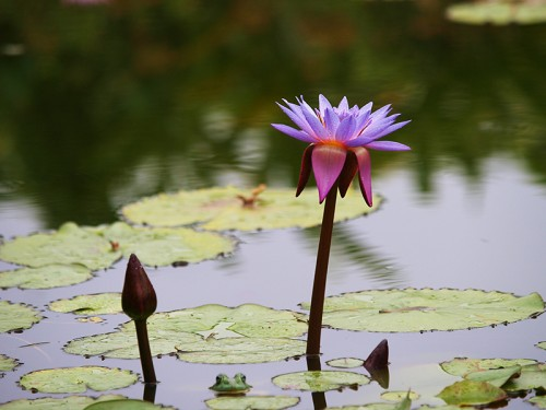 psyche logic an image of a water lilly with a frog peaking up from the water